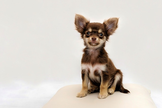 Pourquoi Adopter Un Chihuahua Mes Animaux