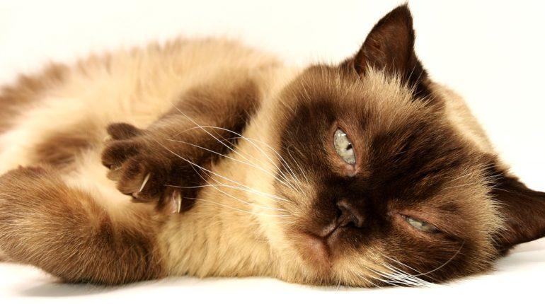 soin quotidien pour chat