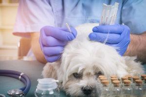Acupuncture pour animaux domestiques