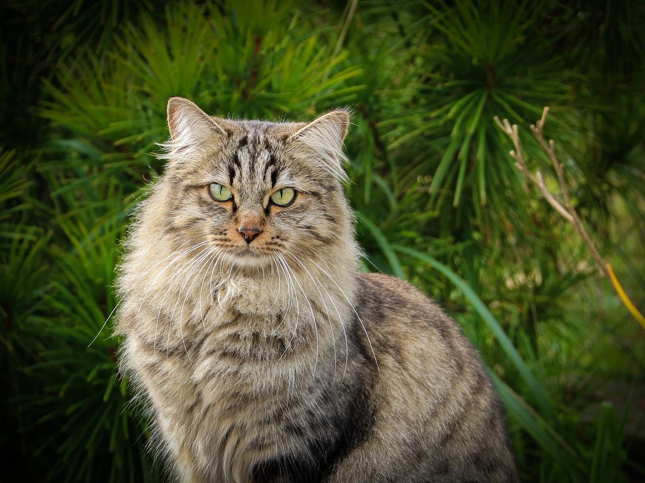 Le chat siberien