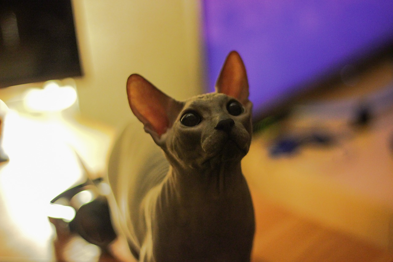 Le chat sphynx