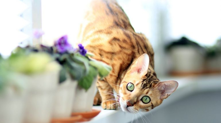 Le chat bengal